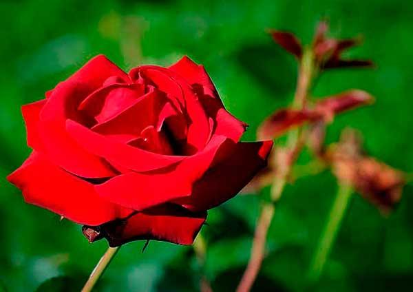 Rojo de la suerte flor